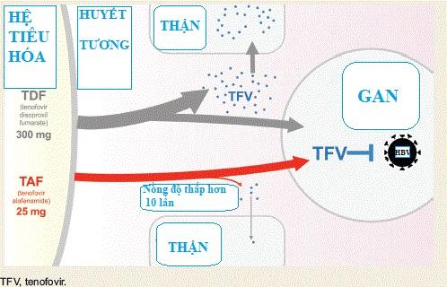 So sánh tác dụng của thuốc Hepbest (TAF) so với tenofovir disoproxil fumarate
